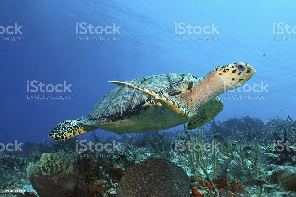 Hawksbill Turtle (Eretmochelys imbricata) swimming - Cozumel, Mexico stock photo