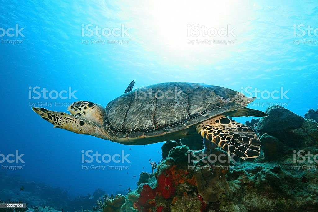 Hawksbill Turtle Swimming Ocer a Coral Reef - Cozumel stock photo