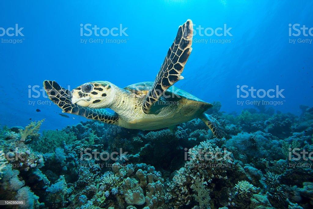 Hawksbill turtle under the ocean stock photo