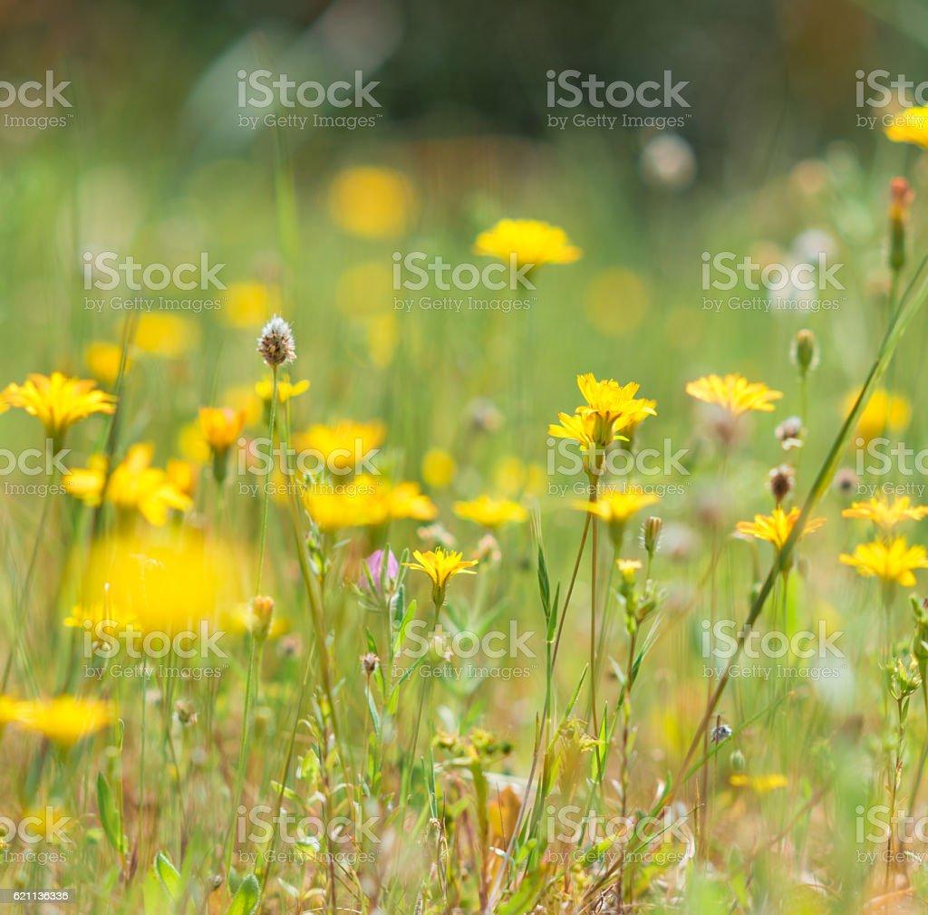 hawkweed (Hieracium) on meadow stock photo
