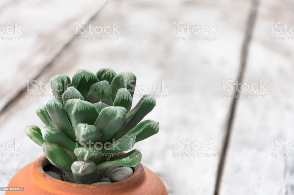Haworthia planted in terracotta pots, place on the wooden floor that blur. stock photo