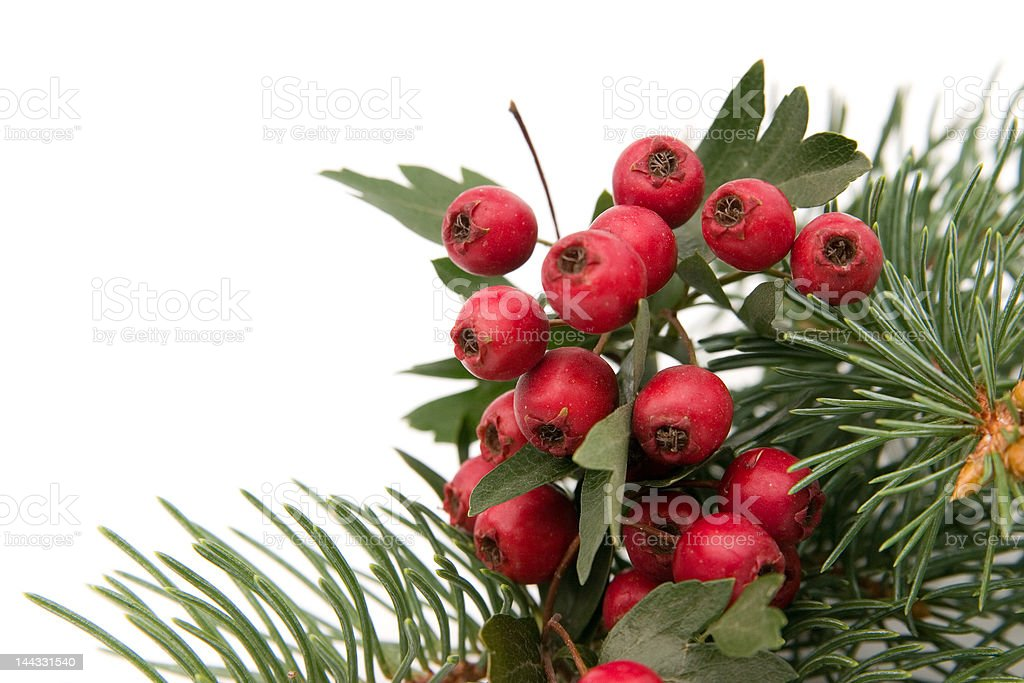 hawthorn and spruce royalty-free stock photo