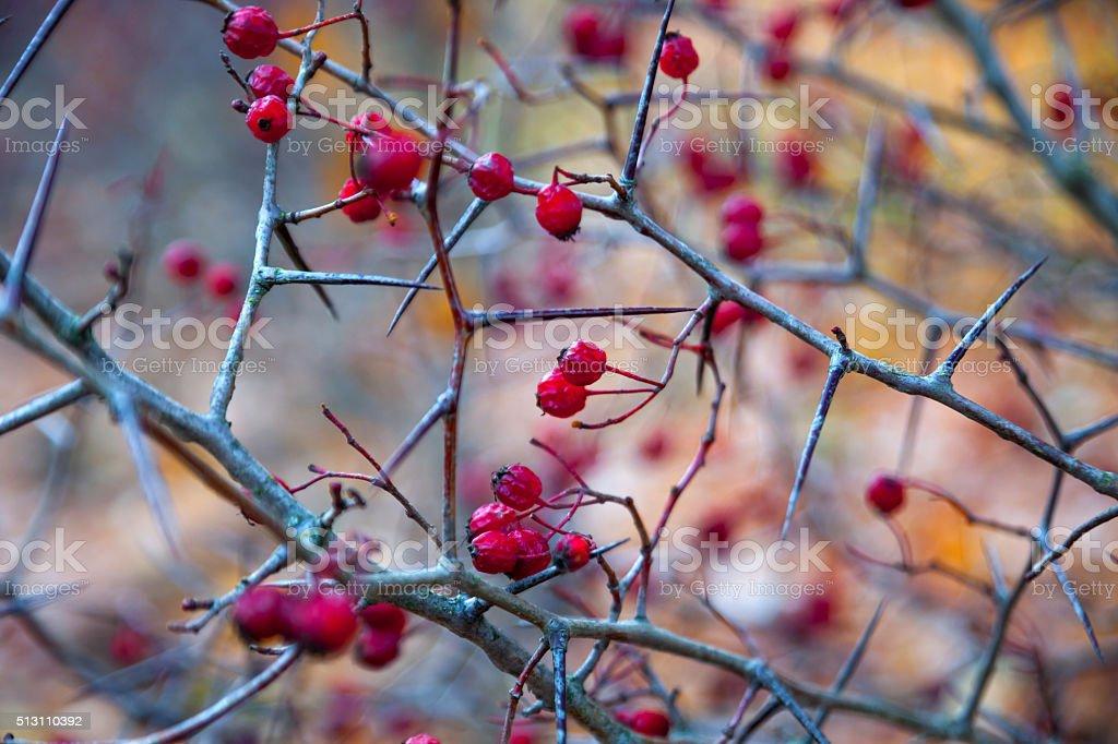Hawthorn berries in autumn stock photo