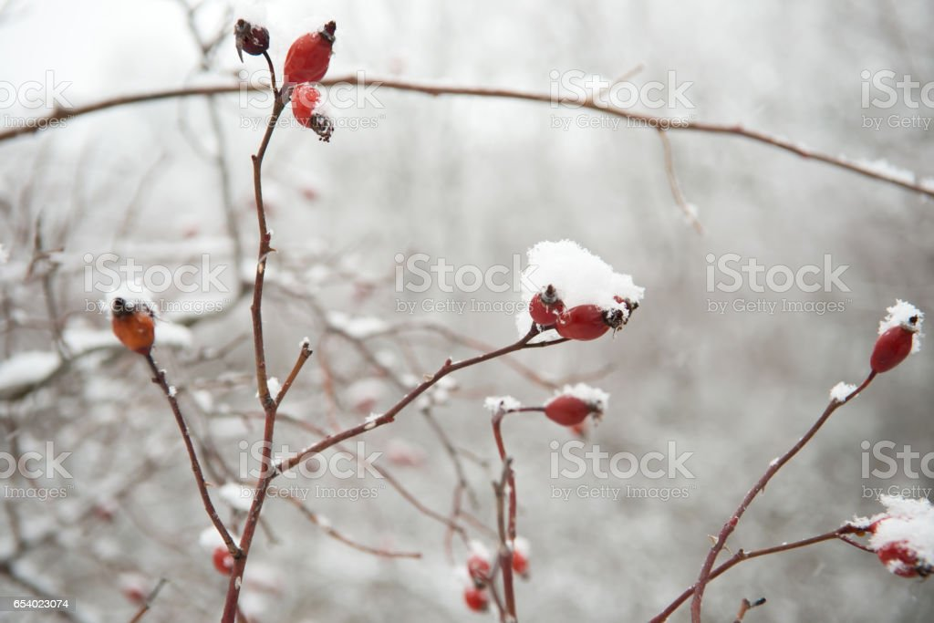 Hawthorn berries on a branch under the snow stock photo