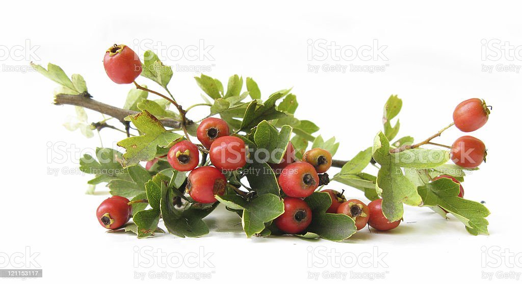 Hawthorn berries royalty-free stock photo
