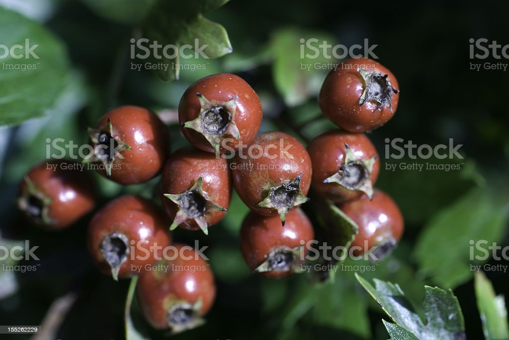 Hawthorn Berries royalty-free stock photo