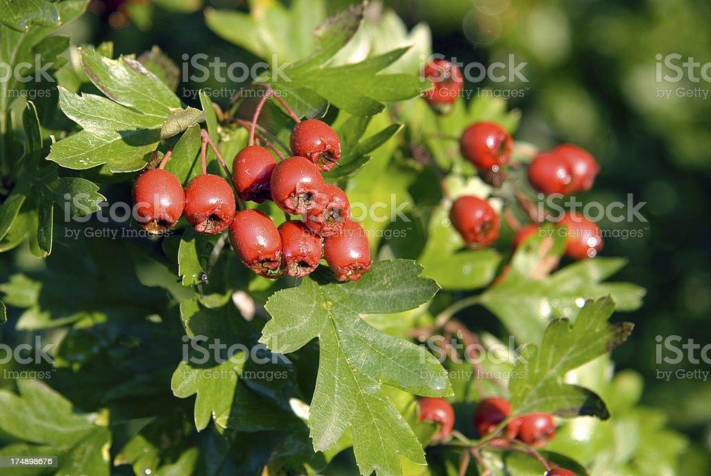 Hawthorn (Crataegus monogyna) berries royalty-free stock photo