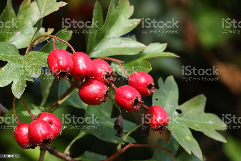 hawthorn berries (Crataegus) royalty-free stock photo