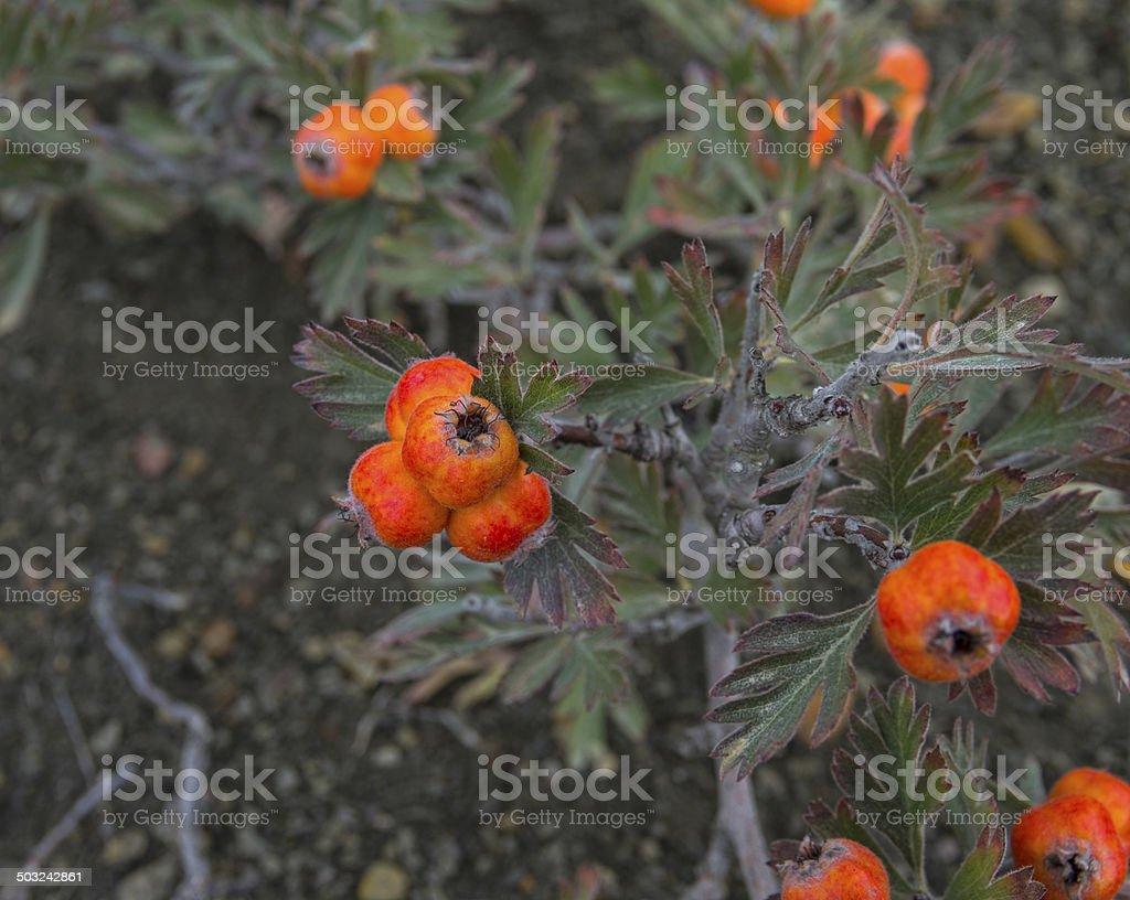 Hawthorn berries. stock photo