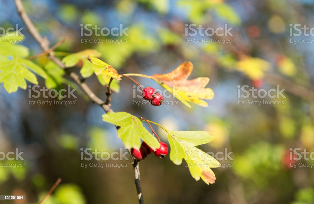 Hawthorn berries stock photo