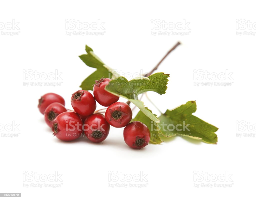 Hawthorn berries with leaves on stem stock photo