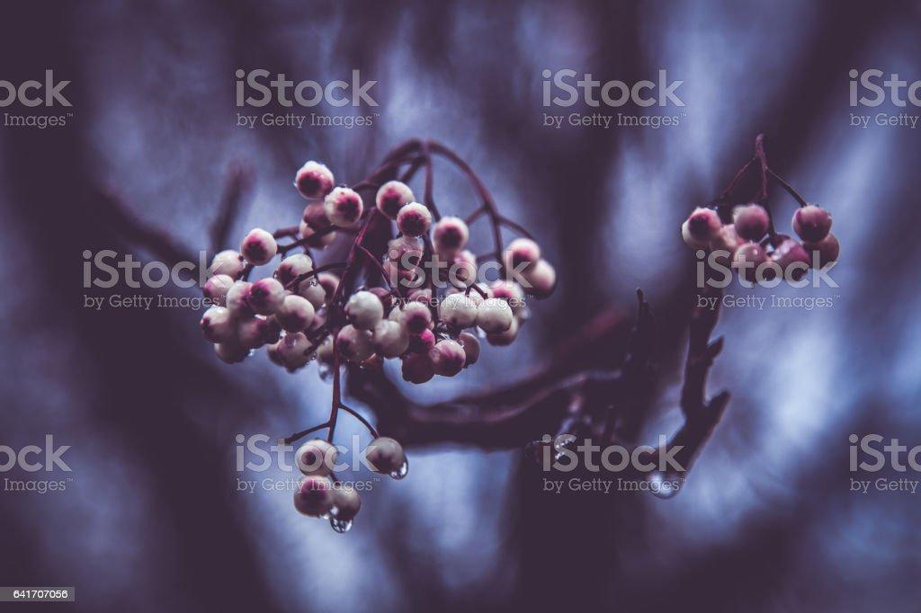 Hawthorn Berry stock photo