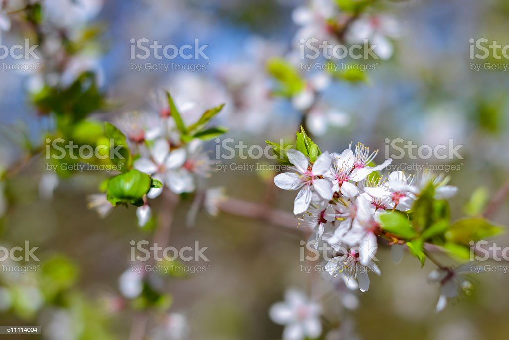 Hawthorn blooms, early spring with bokeh stock photo