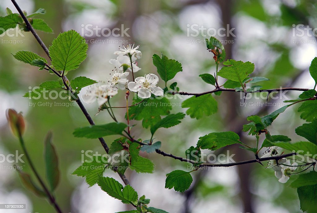 Hawthorn Blossom royalty-free stock photo