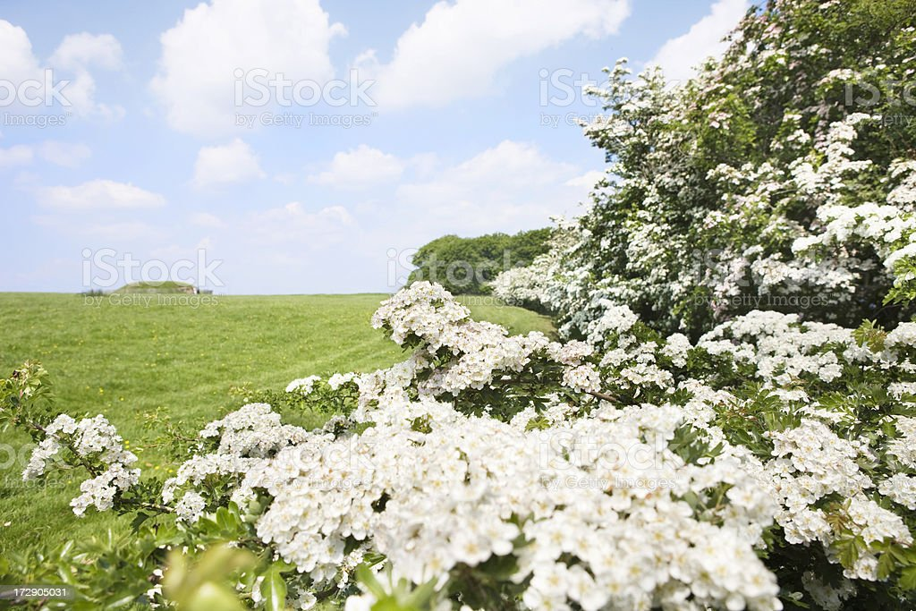 hawthorn blossom royalty-free stock photo