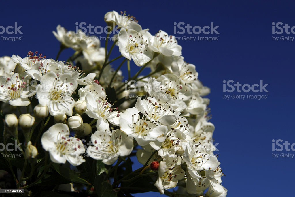 Hawthorn blossoms royalty-free stock photo
