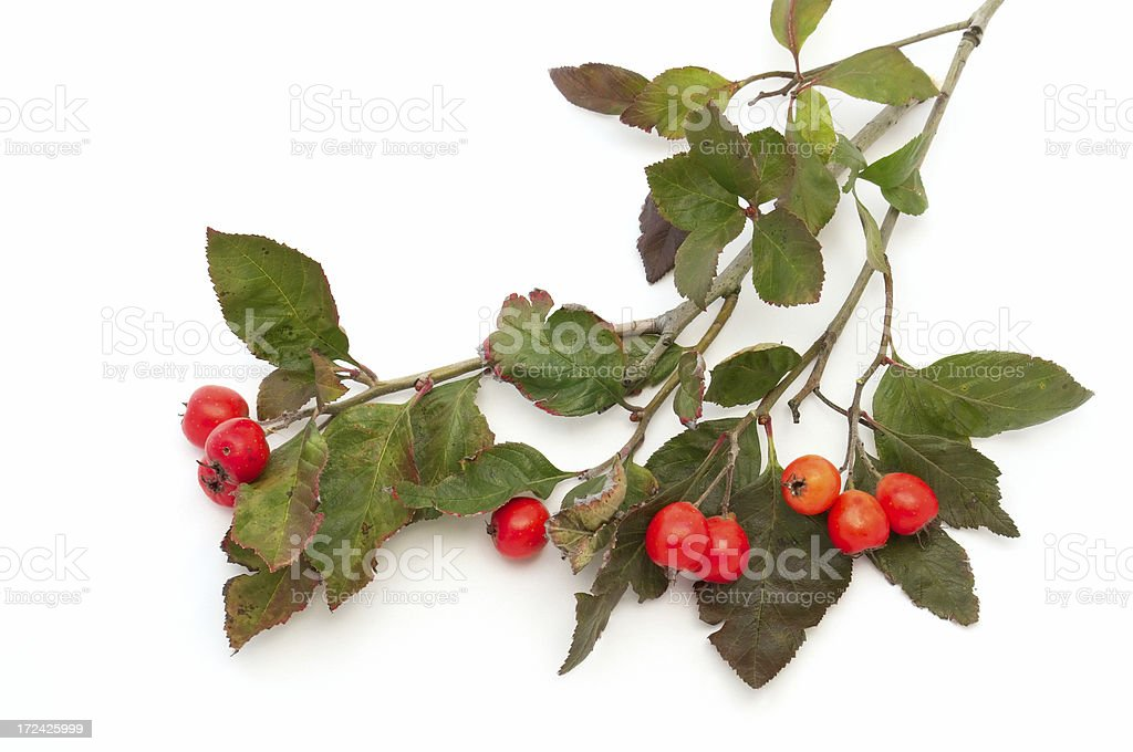 Hawthorn branch royalty-free stock photo