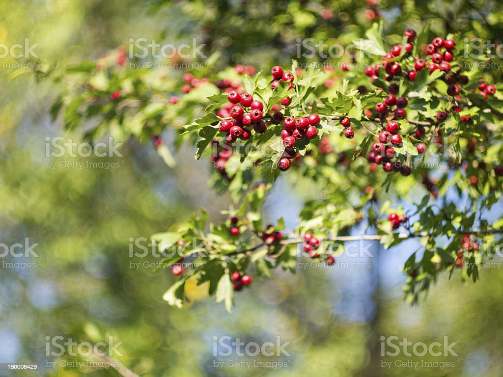 Hawthorn branch with fruits royalty-free stock photo
