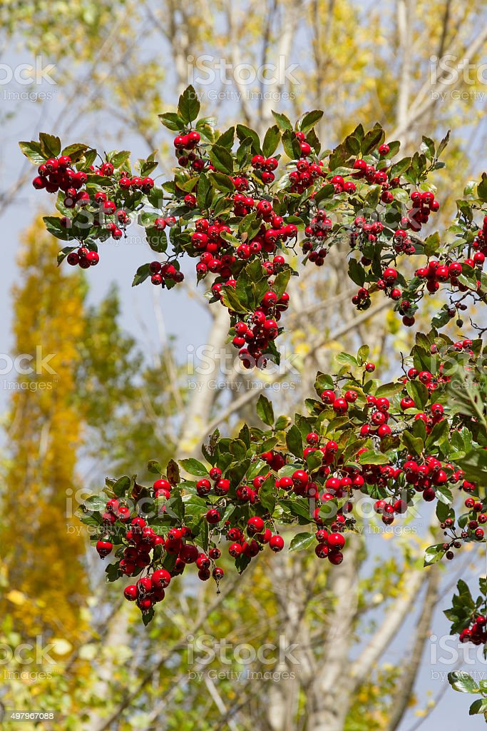 Hawthorn Branches with Red Fruits - Majuelo con Frutos stock photo
