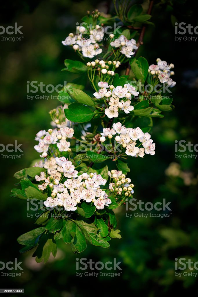 Hawthorn, common (Crataegus monogyna) stock photo