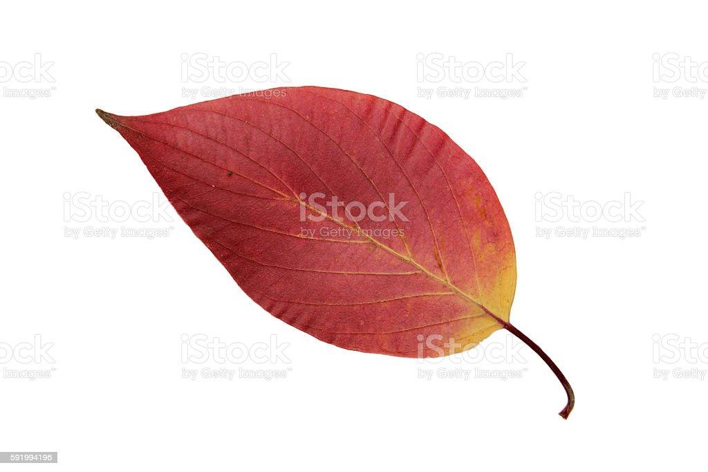 hawthorn dry leaf stock photo
