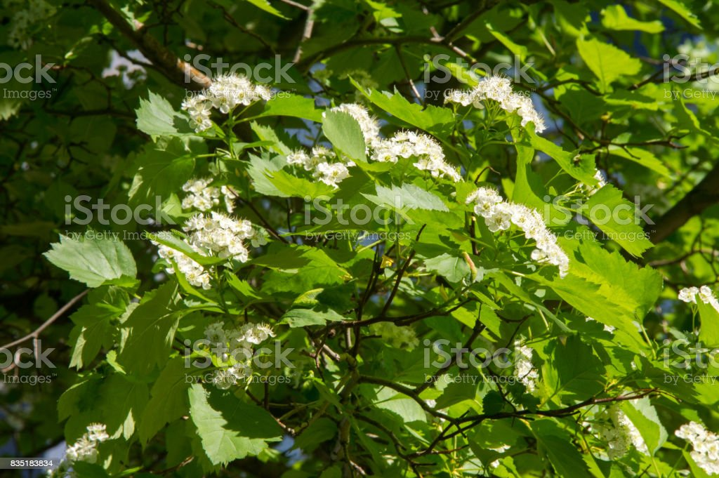 hawthorn flowers. a thorny shrub or tree of the rose family, with white, pink, or red blossoms and small dark red fruits (haws). stock photo