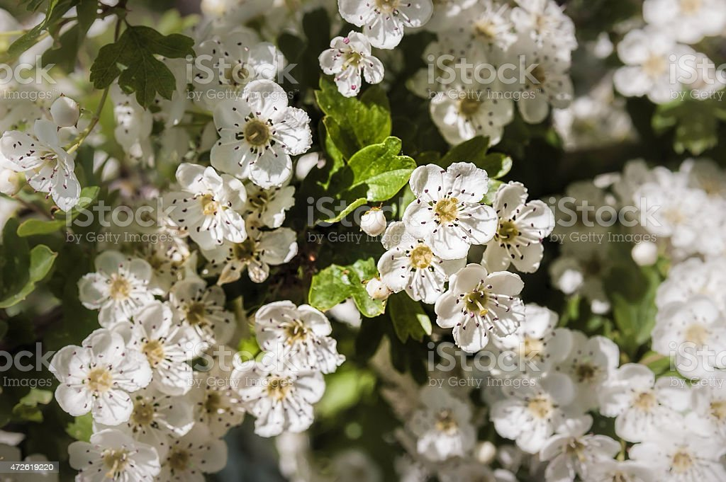Hawthorn Flowers, Crataegus Monogyna stock photo