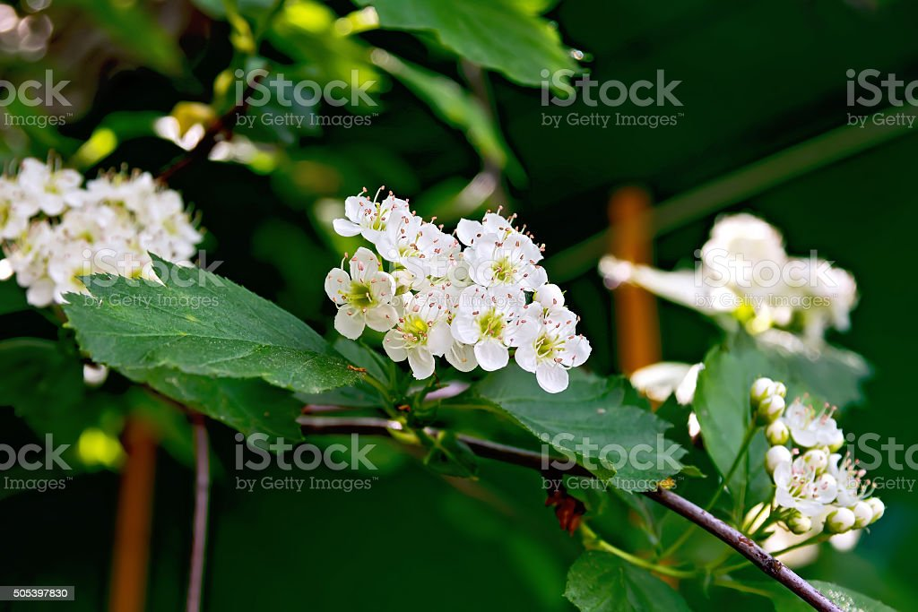 Hawthorn flowers stock photo