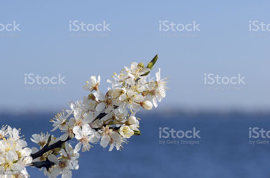 Hawthorn flowers royalty-free stock photo