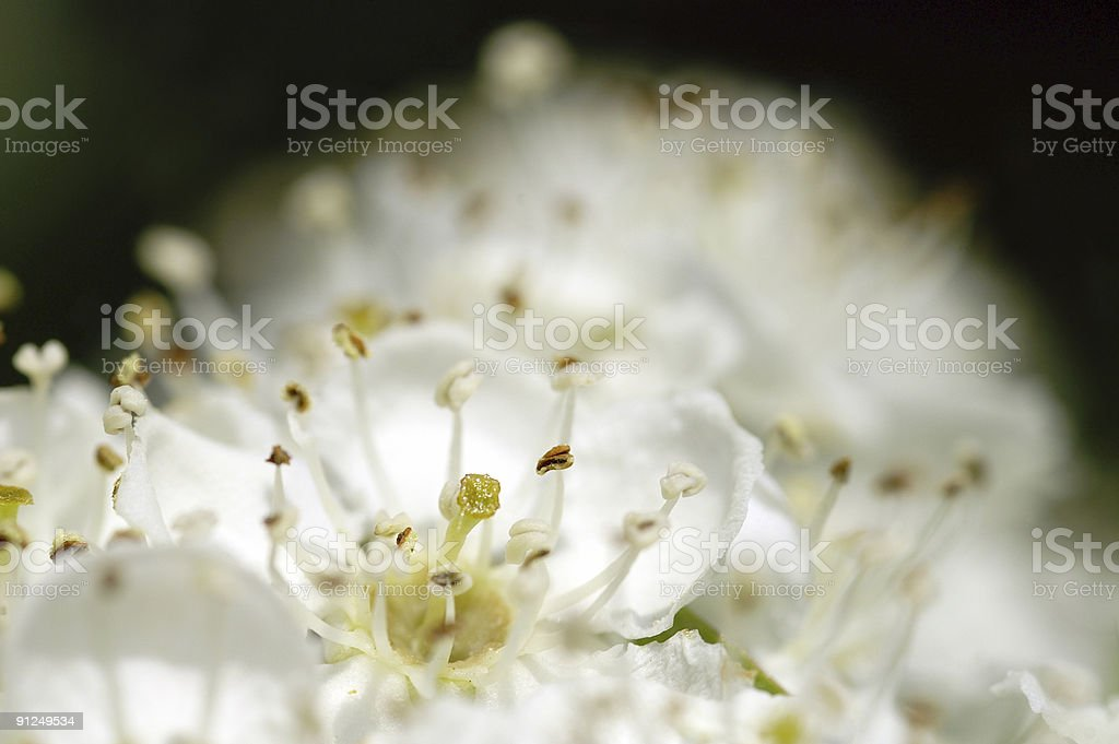 Hawthorn flowers.jpg royalty-free stock photo