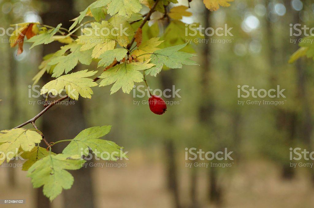 hawthorn fruit in autumn stock photo