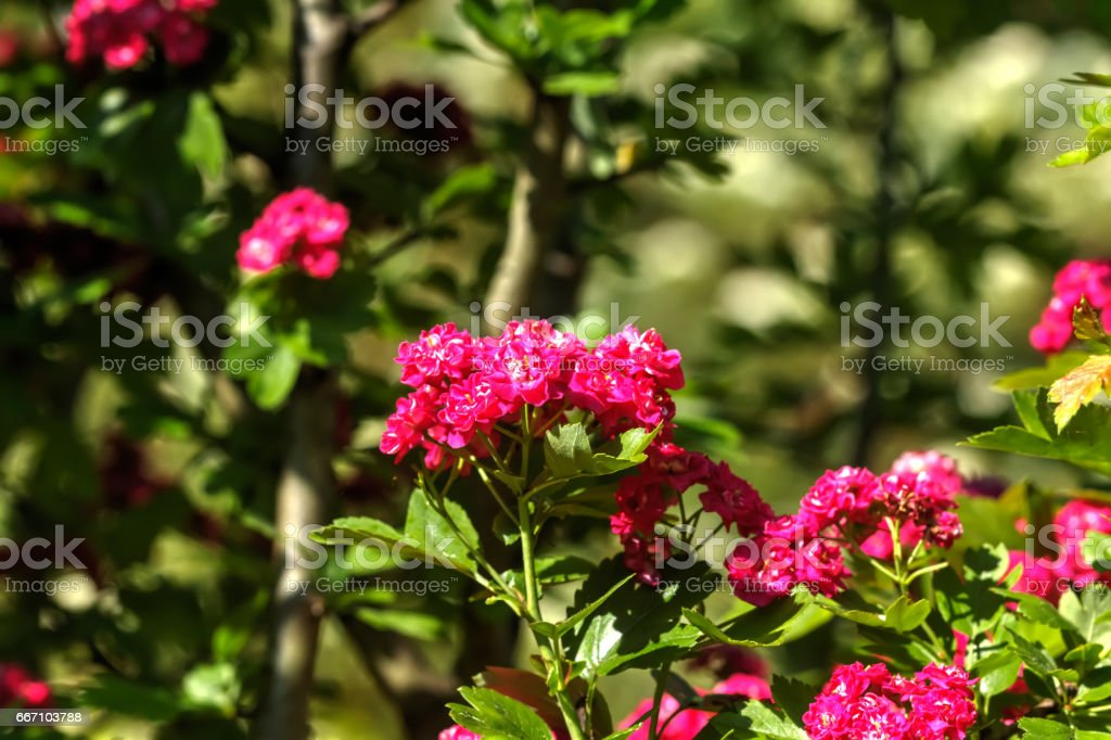 Hawthorn. Garden plant. stock photo