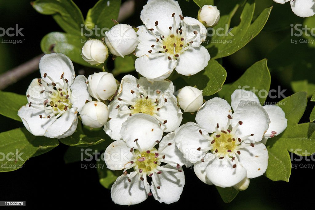 Hawthorn in blossom royalty-free stock photo