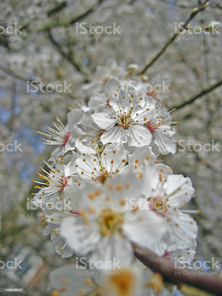 Hawthorn in springtime royalty-free stock photo