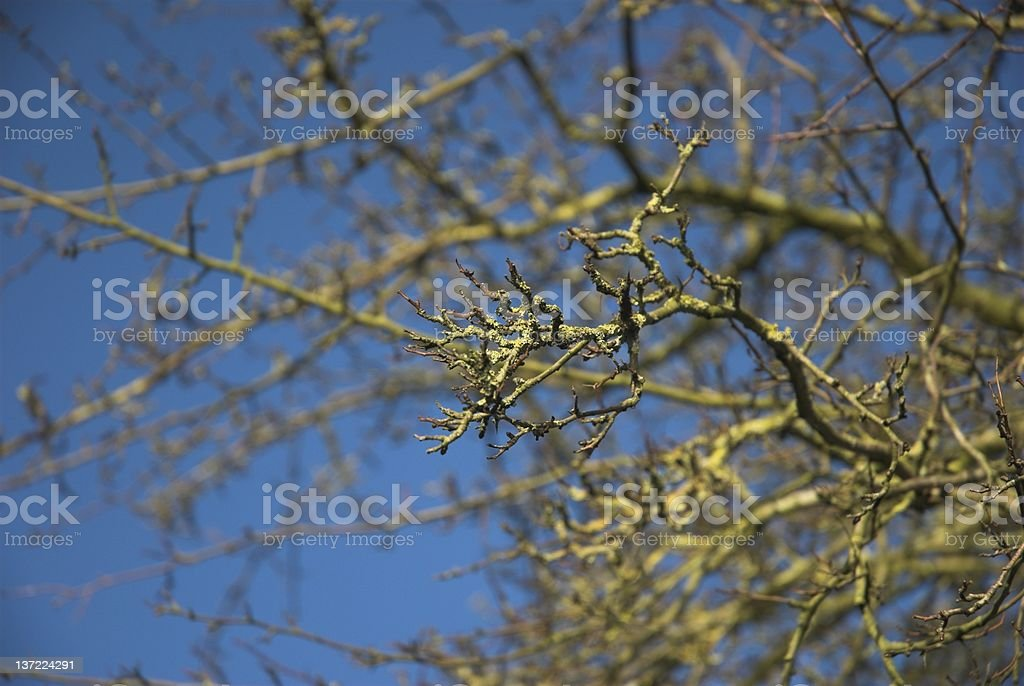 Hawthorn in Winter royalty-free stock photo