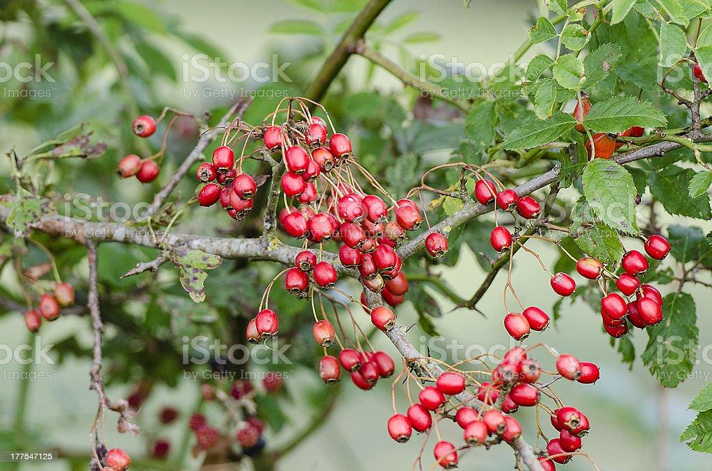 Hawthorn or thornapple stock photo