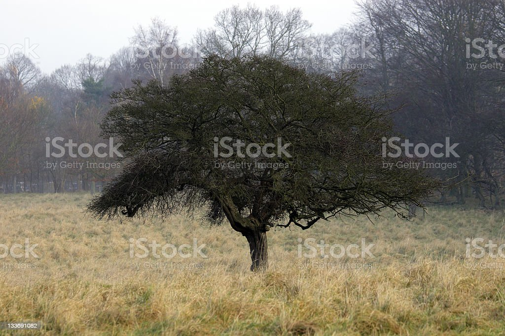 Hawthorn royalty-free stock photo
