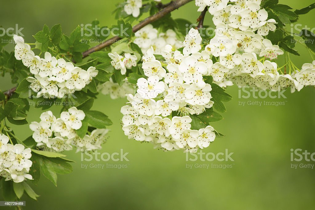 Hawthorn. stock photo