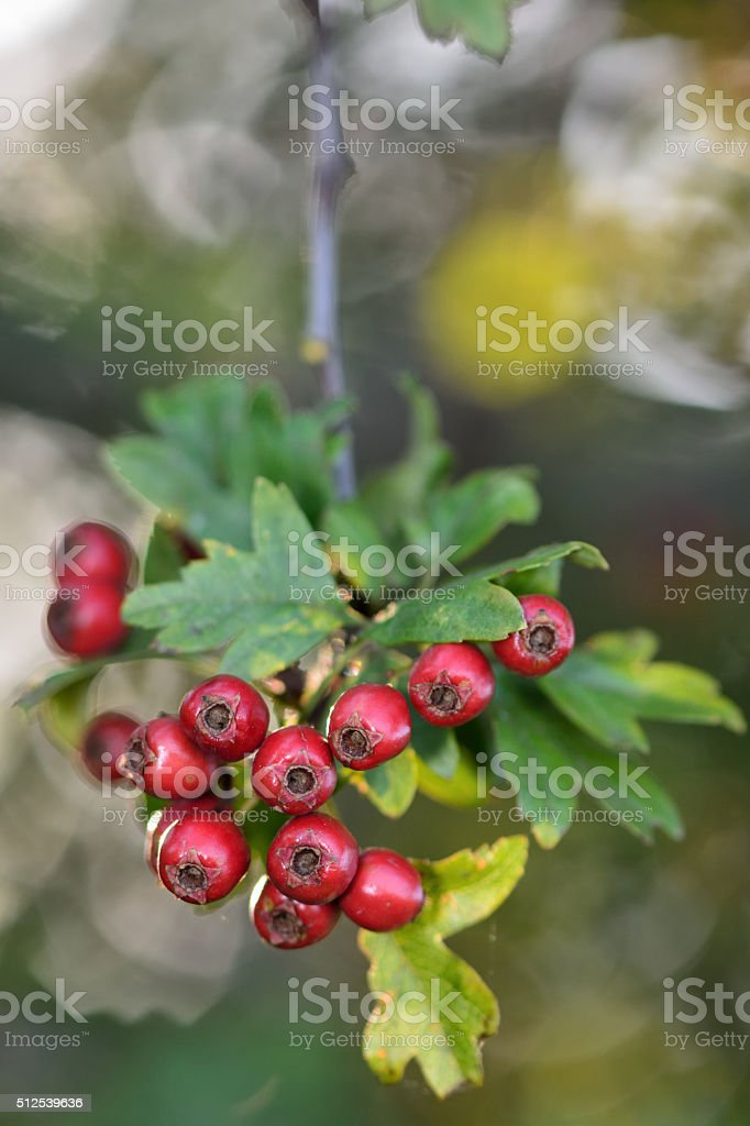 Hawthorn (Crataegus monogyna) stock photo