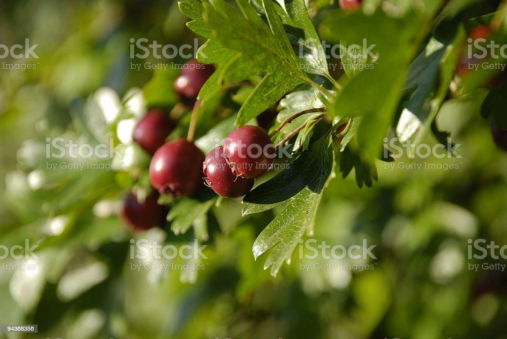 Hawthorn (Crataegus) royalty-free stock photo