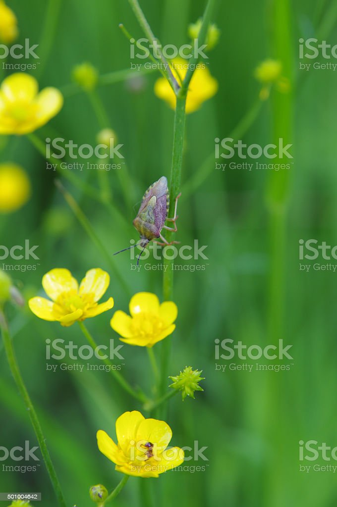 Hawthorn shield bug on a Buttercup stock photo