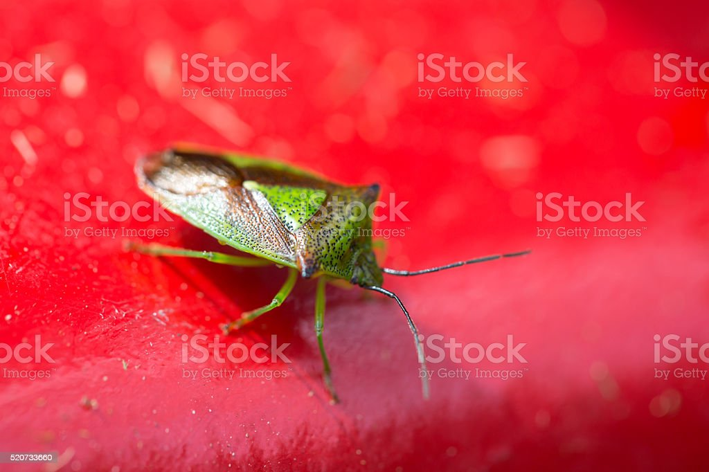 Hawthorn Shield Bug on red background stock photo