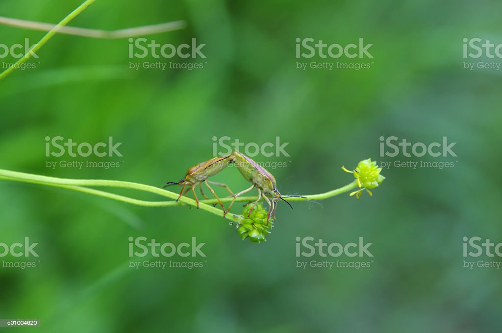 Hawthorn shield bugs mating stock photo