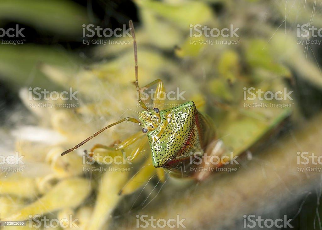 Hawthorn Shieldbug (Acanthosoma haemorrhoidale) royalty-free stock photo