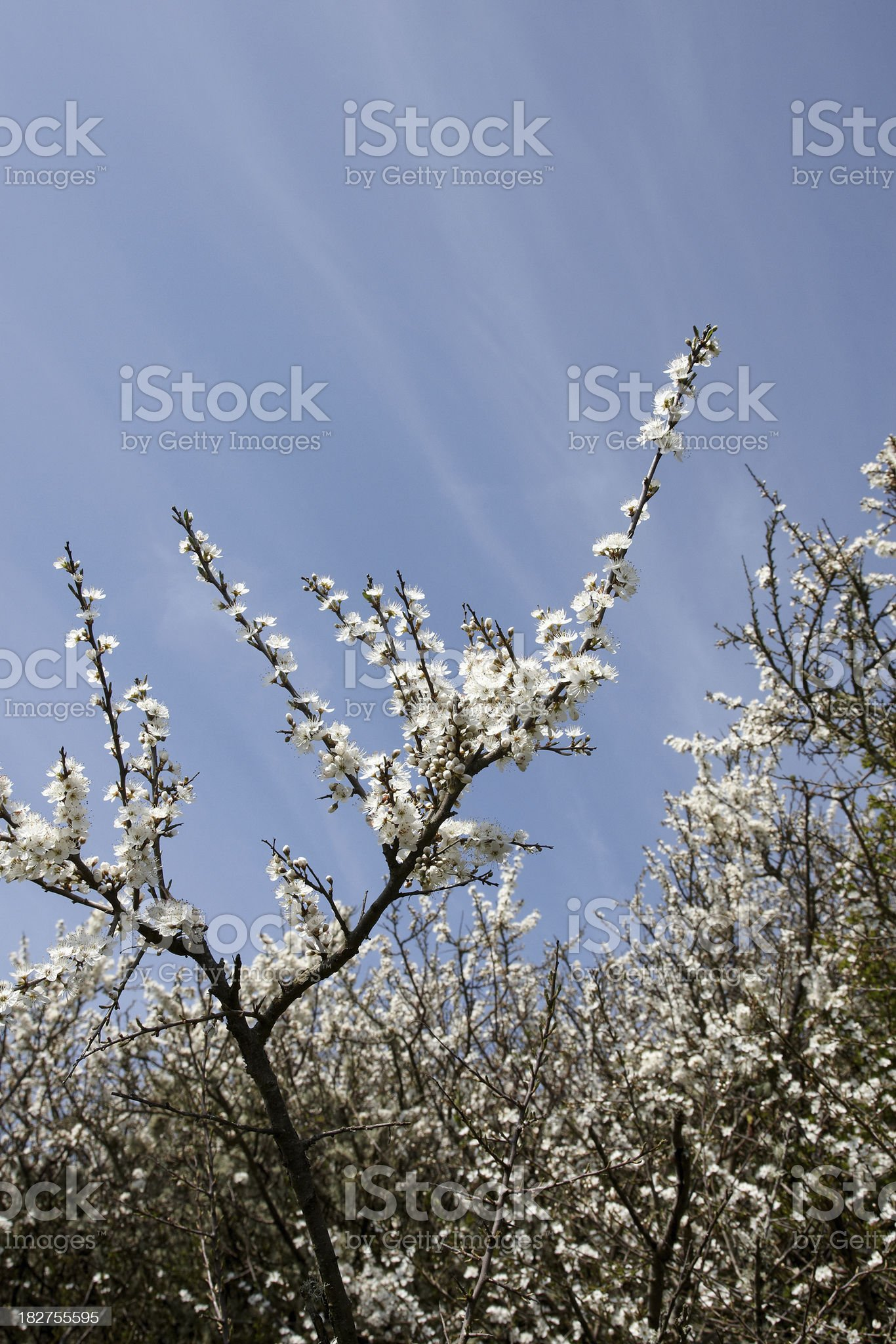 Hawthorn tree blossom blue sky royalty-free stock photo