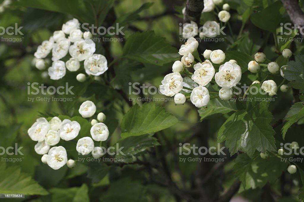 Hawthorn tree blossoms royalty-free stock photo