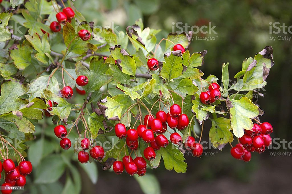 Hawthorn (Crataegus monogyna) with Red Berries royalty-free stock photo