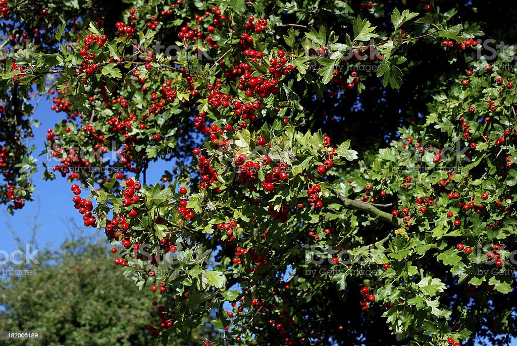 Hawthorn with red berries royalty-free stock photo