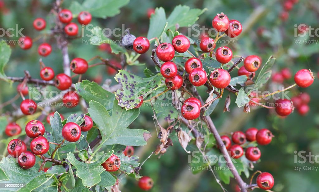 Hawthorn (Crataegus monogyna) with red berries stock photo