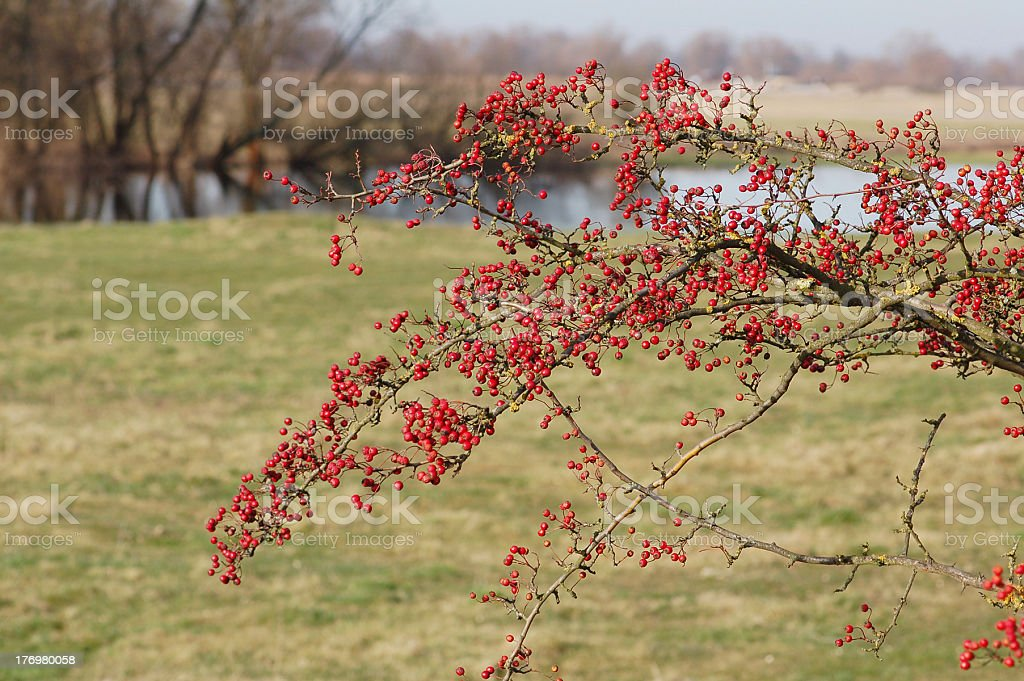 Hawthorn with red fruits stock photo